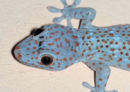 Closeup Head of Tokay Gecko is on The Wall
