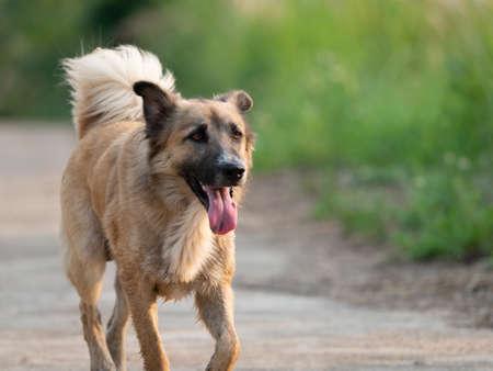 Closeup Smile Dog Running Isolated on Nature Background