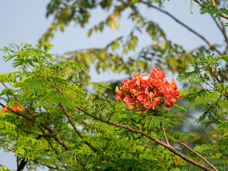 Closeup Bunch of Delonix Regia Flowers with Green Leaves Isolated on Nature Background