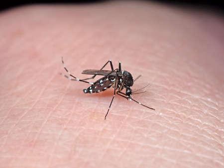 Makrofotografie der Gelbfiebermücke, die Blut auf menschlicher Haut saugt Standard-Bild
