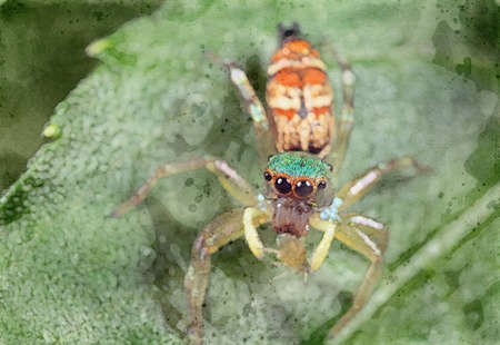 Watercolor Picture of Colorful Jumping Spider with Prey on Green Leaf Stock Photo