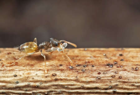 Macro Photography of Tiny Ant Carrying Eggs and Running on Stick