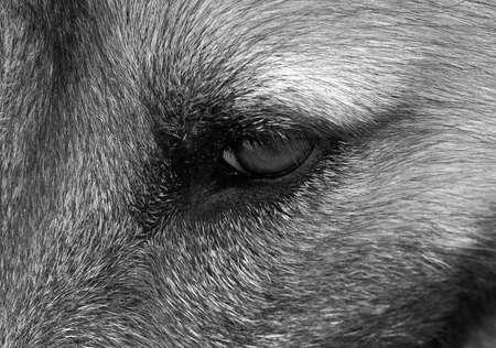 Closeup Dog Shows Feelings Through Its Eye, Black and White