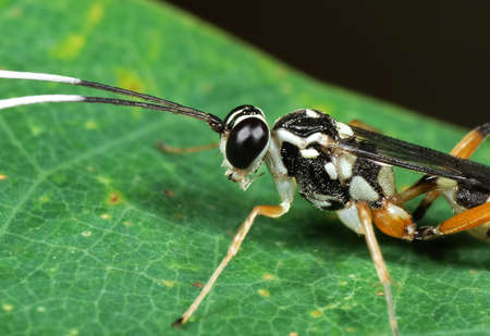 Macro Photography of Ichneumon Wasp with Black and White Antennae on Green Leaf