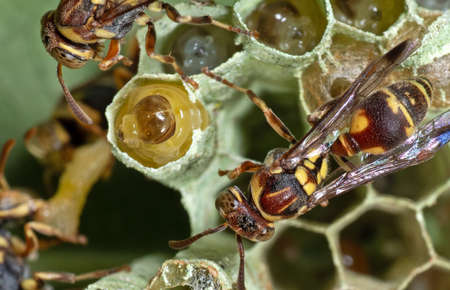 Macro Photography of Wasps on Nest with Larvae and Eggs on The Back of Leaf