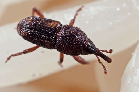 Macro Photography of Rice Weevil or Sitophilus oryzae on Raw Rice Banco de Imagens