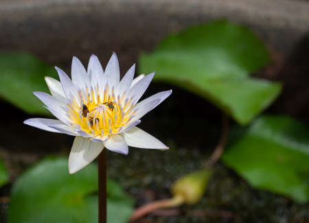 Closeup Lotus Flower with Bee Isolated on Background