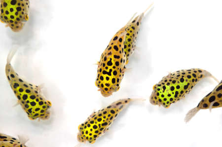 Closeup Group of Green Spotted Puffer Fish Isolated on White Background