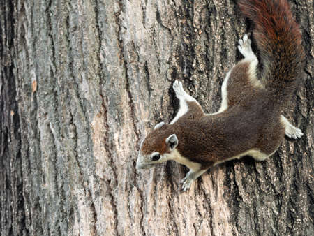 Closeup Squirrel is Climbing on Tree Bark