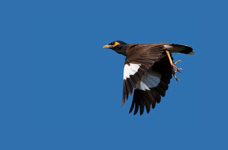 Closeup Mynah Bird Flying in The Air Isolated on Blue Sky