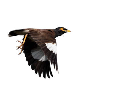 Closeup Mynah Bird Flying in The Air Isolated on White Background with Copy Space Banco de Imagens