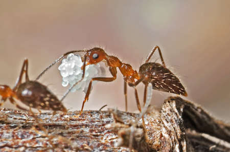 Macro Photography of Ant Carrying Eggs on Twig Stock Photo