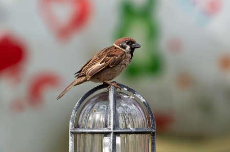 Closeup Eurasian Tree Sparrow Standing on Bollard Light Isolated on Background Stockfoto