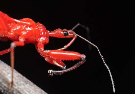 Macro Photography of Assassin Bug on Twig Isolated on Black Background