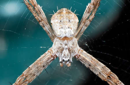 Macro Photography of Cross Spider on Web Isolated on Background