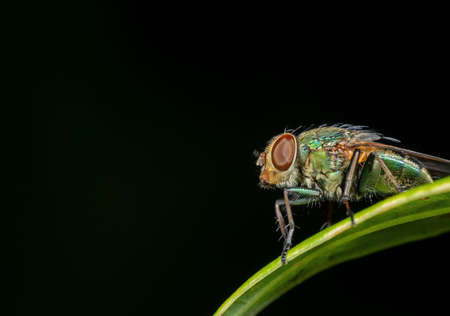 Macro Photography of Blowfly on Green Leaf Isolated on Black Background with Copy Space Zdjęcie Seryjne