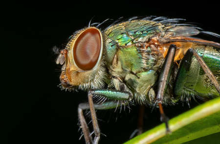 Macro Photography of Blowfly on Green Leaf Isolated on Black Background Zdjęcie Seryjne