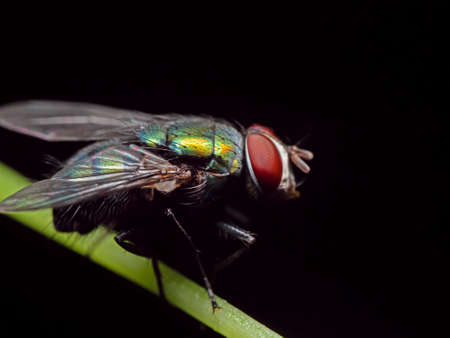 Macro Photography of Blowfly on Stalk of Leaf Isolated on Black Background