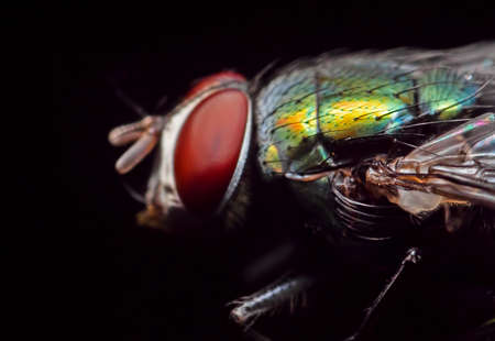 Macro Photography of Blowfly Isolated on Black Background