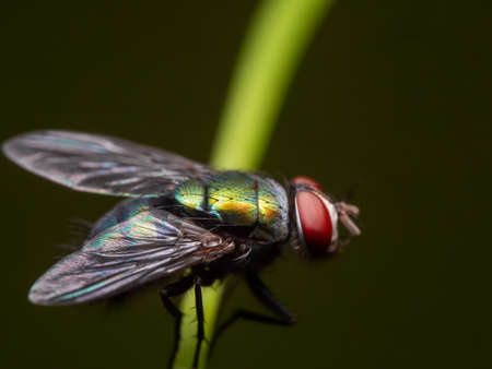Macro Photography of Blowfly on Stalk of Leaf Isolated on Background