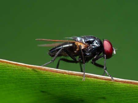 Macro Photography of Black Blowfly on Green Leaf Isolated on Green Background