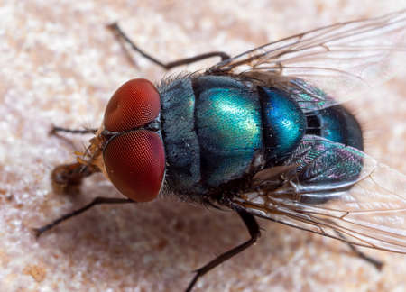 Macro Photography of Blue Blow Fly on The Floor