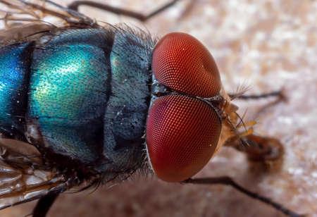 Macrofotografie van blauwe klapvlieg op de vloer