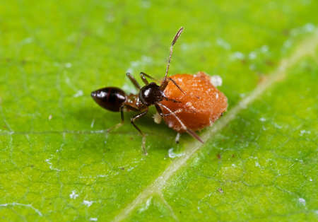 Macro Photography of Assassin Bug is Eating Fruit on Leaf