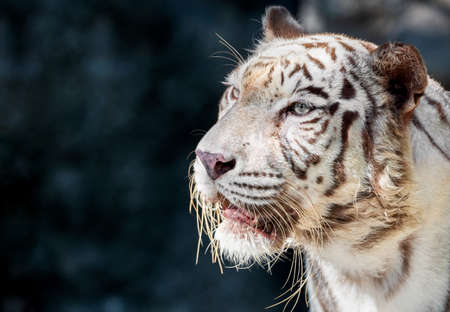 Closeup Head of White Bengal Tiger Isolated on Background with Copy Space