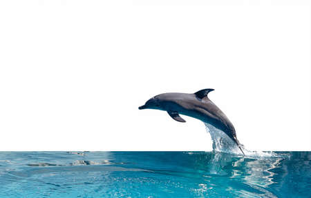 Closeup Dolphin is Jumping on The Water Surface Isolated on White Background with Clipping Path