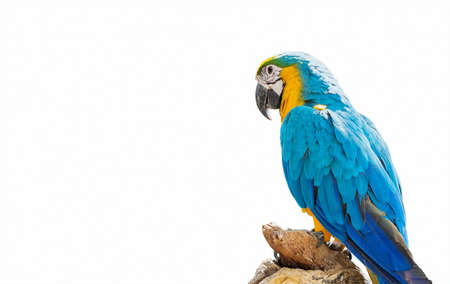 Closeup Blue and Gold Macaw Perched on Branch Isolated on White Background with Copy Space and Clipping Path 版權商用圖片