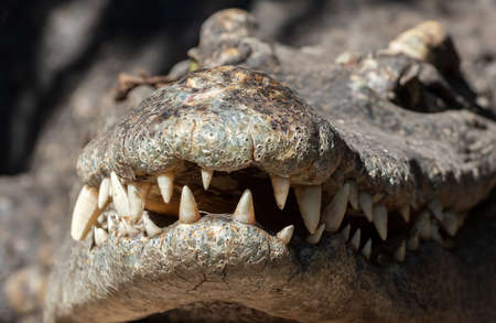 Closeup Head of Crocodile with Teeth in The Mouth Isolated on Background Banque d'images