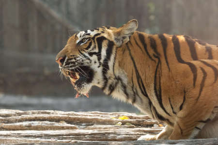 Closeup Bengal Tiger Eating Raw Meat Isolated on Background 写真素材