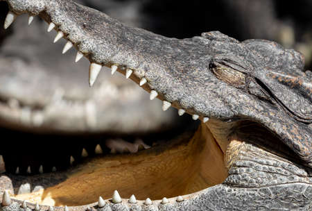 Closeup Head of Crocodile was Sunbathing Isolated on Background Archivio Fotografico - 137959610