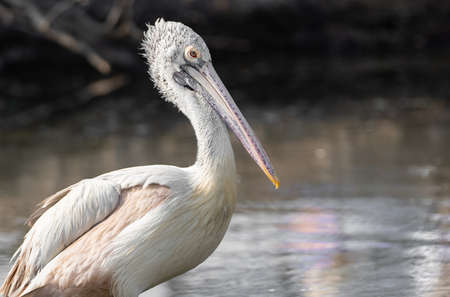 Closeup Spot Billed Pelican Standing near a Swamp Isolated on Background