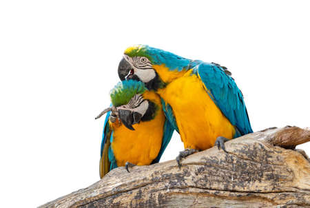 Closeup Two Blue and Gold Macaw Perched on Branch Isolated on White Background with Clipping Path
