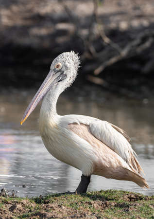 Closeup Spot Billed Pelican Standing near a Swamp Isolated on Background Banco de Imagens - 138360907