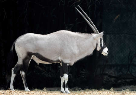 Closeup Oryx is Standing on The Filed Isolated on Background