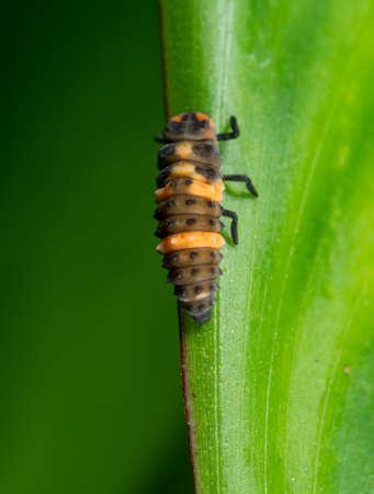Macro Photography of Ladybug Larvae on Green Leaf Isolated on Background