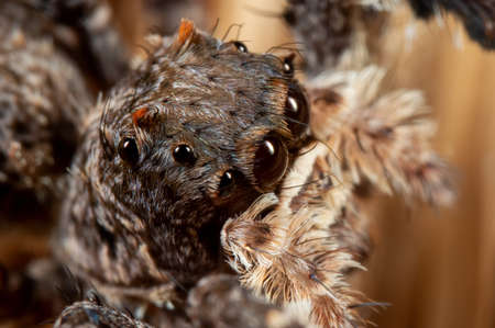 Macro Photography of Head of Portia Jumping Spider on a Broom Фото со стока