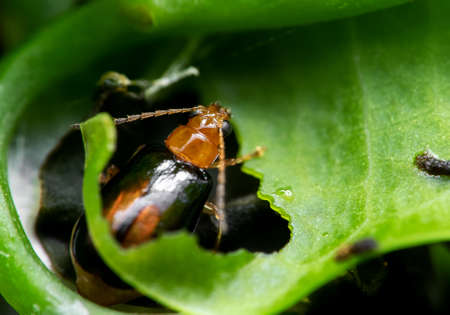 Macro Photography of Little Beetle Eating Green Leaf