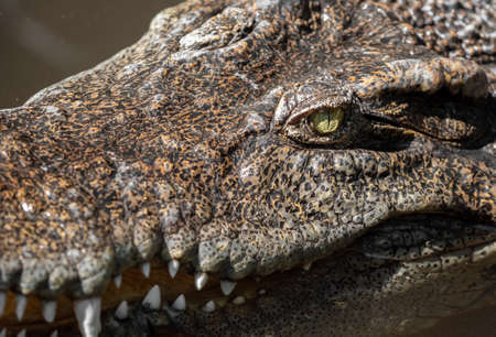 Closeup Head of Crocodile was Floating in The Swamp and was Staring