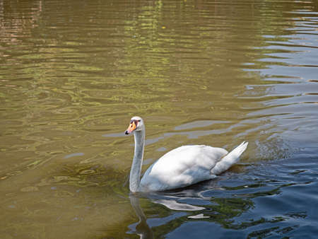 Closeup White Swan Floating in a Pond with Copy Space