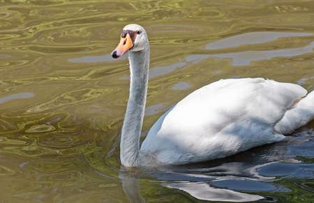 Closeup White Swan Floating in a Pond