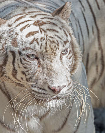 Closeup White Bengal Tiger Isolated on Background  写真素材