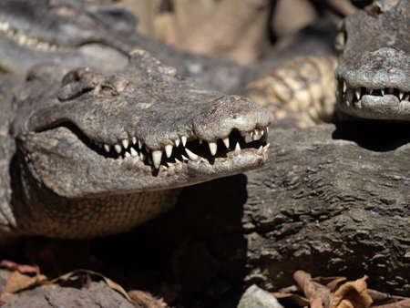 Closeup Mouth of Crocodile was Sunbathing Isolated on Background