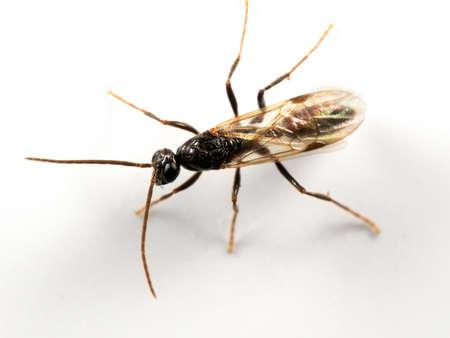Macro Photography of Black Flying Ant Isolated on White Background