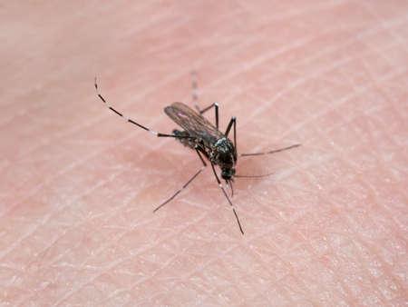 Macro Photography of Yellow Fever Mosquito Sucking Blood on Human Skin Stock Photo