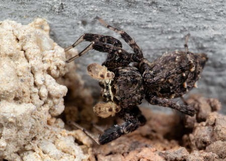 Macro Photography of Portia Jumping Spider with Nest on The Ceiling