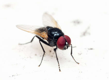 Macro Photography of Black Blowfly on White Floor